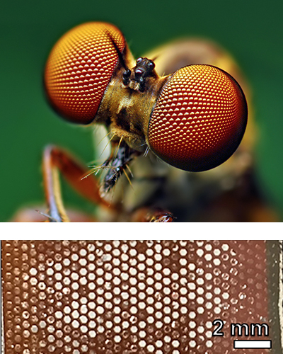 Eyes of a robber fly. And photo of scaffolds filled with perovskite after fracture testing.