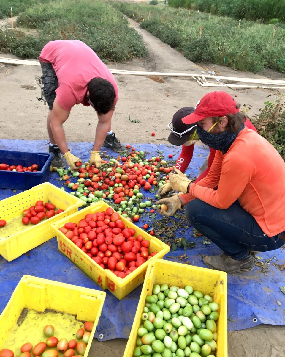 The Nitricity team harvesting their tomatoes