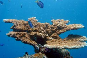 Corals in the Federated States of Micronesia, Chuuk.