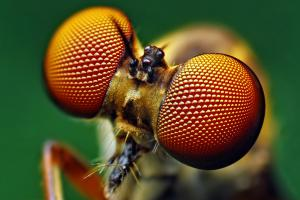 Eyes of a robber fly