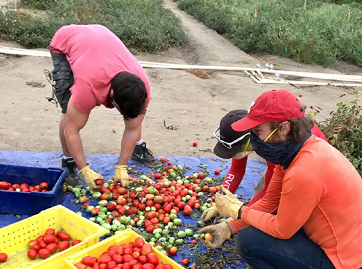 The Nitricity team harvests their tomatoes